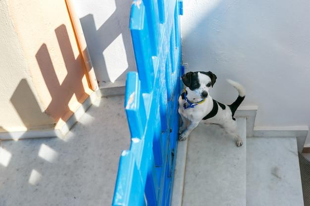 Pies W Oia, Santorini, Grecja Premium Zdjęcia