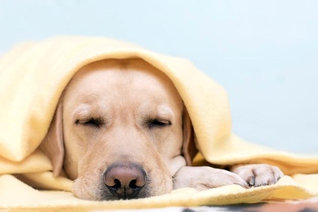 Pies Zamarł, Wygrzewając Się W Wygodnym żółtym Kocu. Koncepcja Komfortu W Zimnych Porach Roku. Premium Zdjęcia
