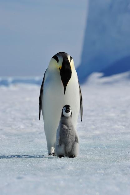 Pingwin cesarski z kurczakiem Premium Zdjęcia