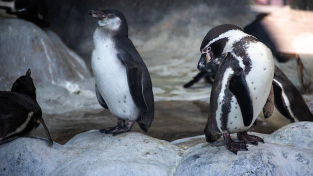 Pingwiny Humboldta Stojące W środowisku Naturalnym, Na Skałach W Pobliżu Wody Premium Zdjęcia