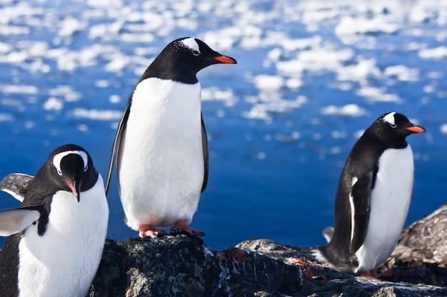 Pingwiny Na Antarktydzie Premium Zdjęcia