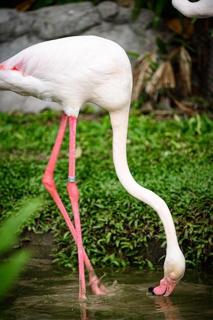 Pink Flamingo: Greater Flamingo Jest Najczęstszym I Najbardziej Rozpowszechnionym Członkiem Rodziny Flamingów. Premium Zdjęcia