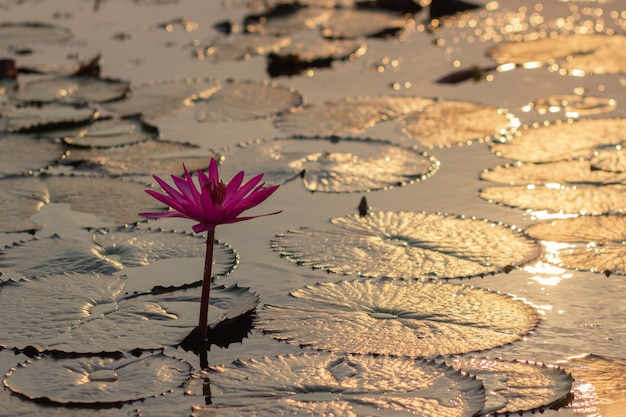Pink Water Lillie's W Tajlandii Darmowe Zdjęcia