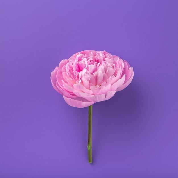 Pion na białym tle na kolorowym tle. różowy delikatny kwiat piwonii miękkiej. stylowe kwiaty na 8 marca. piony Premium Zdjęcia
