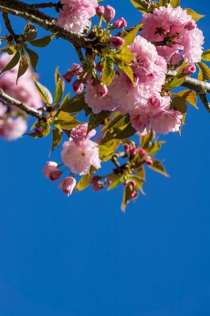 Pionowe Niski Kąt Strzału Kwitnących Różowych Kwiatów Na Gałęziach Drzew Darmowe Zdjęcia
