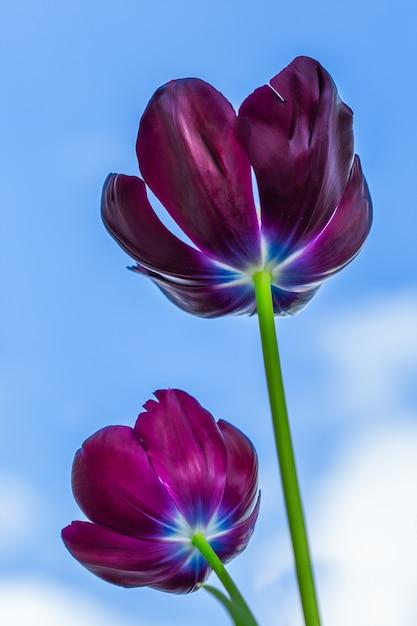 Pionowe Niski Kąt Strzału Wspaniałych Czarnych Tulipanów Pod Błękitnym Niebem Darmowe Zdjęcia