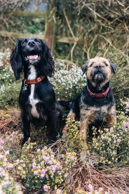 Pionowe Ujęcie Border Terriera I Spaniela Siedzącego Na Suchej Trawie Darmowe Zdjęcia