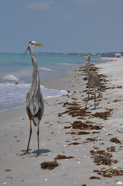 Pionowe Ujęcie Dwóch Wielkich Czapli Niebieskich Na Plaży W Pobliżu Fal Morskich, Cieszących Się Ciepłą Pogodą Darmowe Zdjęcia