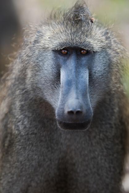 Pionowe Ujęcie Małpy Pawiana W Polu Darmowe Zdjęcia