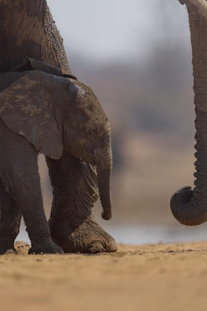 Pionowe Ujęcie Słoniątka Idącego W Pobliżu Swojej Matki Darmowe Zdjęcia