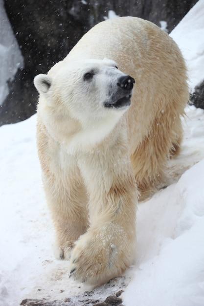 Pionowe Zbliżenie Niedźwiedzia Polarnego W Promieniach Słońca Podczas Opadów śniegu Darmowe Zdjęcia