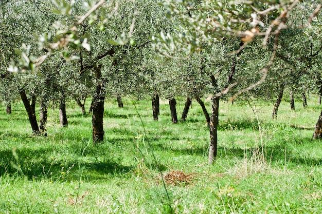 Plantacja Drzew Oliwnych Premium Zdjęcia