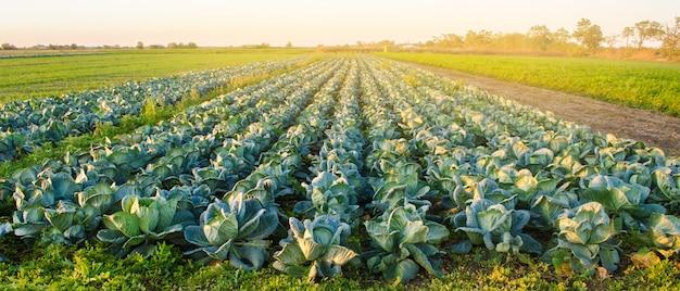 Plantacje Kapusty W świetle Zachodzącego Słońca. Uprawa Organicznych Warzyw. Produkty Ekologiczne Premium Zdjęcia