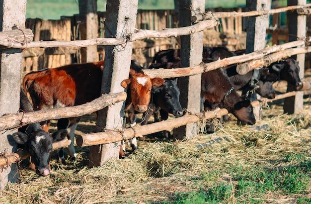 Pojęcie rolnictwa, hodowli i hodowli zwierząt. stado krów w oborze na fermie mlecznej Premium Zdjęcia