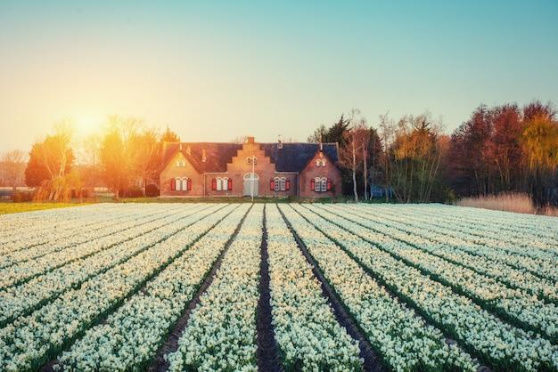 Pola hiacynty kwitnące kwiaty na fantastyczny zachód słońca. Premium Zdjęcia