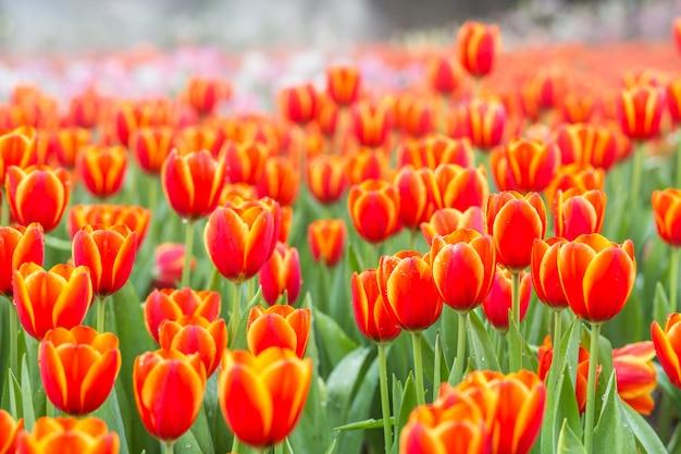 Pola Kwiatów Tulipanów Pomarańczowy Premium Zdjęcia