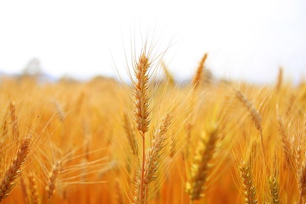Pola ryżowe w pięknych polach ryżowych. Premium Zdjęcia