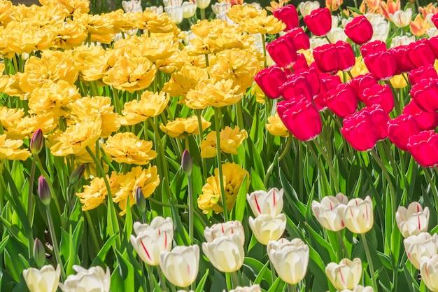 Pole czerwonych, żółtych, białych i fioletowych tulipanów. kwiat tło. krajobraz letniego ogrodu Premium Zdjęcia