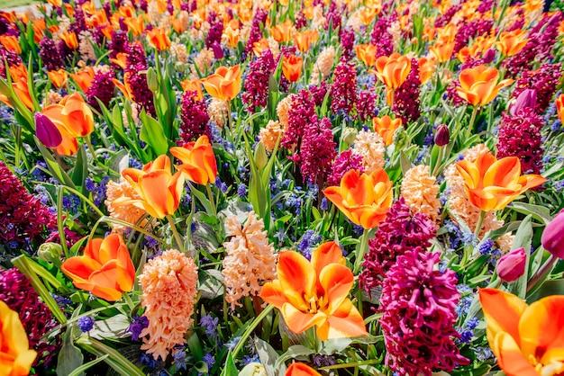 Pole Dzikich Kwiatów. Wiosenny Krajobraz Holandia Premium Zdjęcia