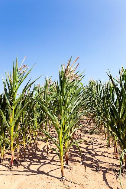 Pole, Które Zwiększa Plon Kukurydzy, Zamknij. Niedojrzała Kukurydza Premium Zdjęcia
