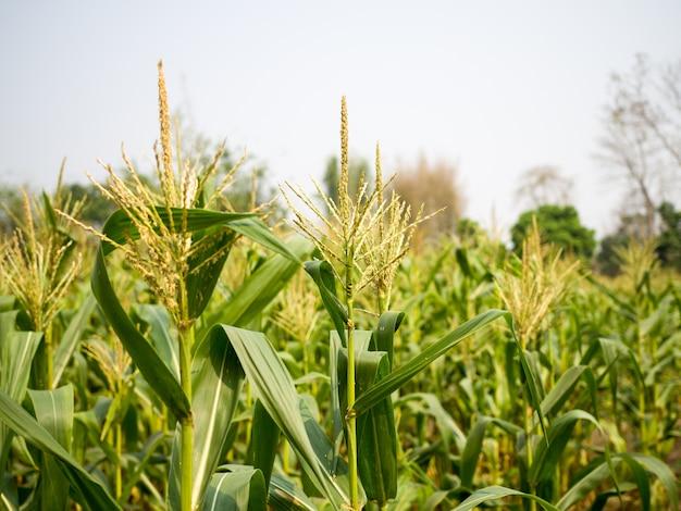 Pole Kukurydzy Kukurydza Kwiaty Meskie Pylek Fredzle Lodygi Kukurydzy Slodkiej Zdjecie Premium