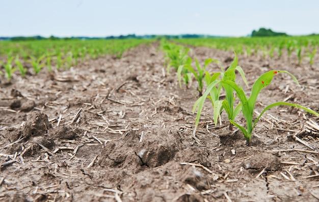 Pole Kukurydzy: Młode Rośliny Kukurydzy Rosnące W Słońcu. Darmowe Zdjęcia