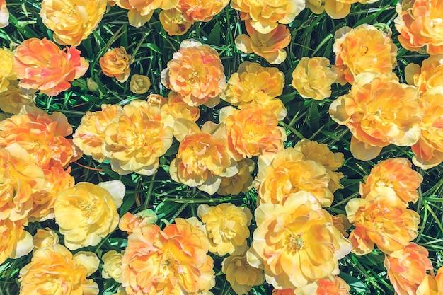 Pole Kwiatów Tulipanów Darmowe Zdjęcia