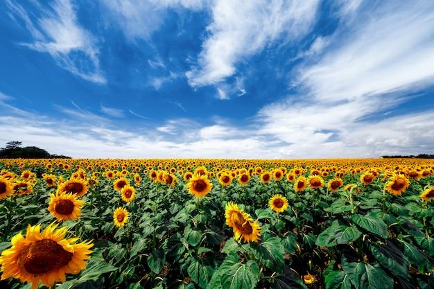 Pole kwitnących słoneczników Premium Zdjęcia
