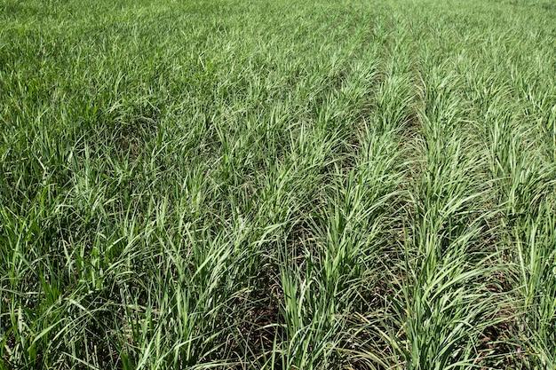 Pole Plantacji Trzciny Cukrowej W Słoneczny Dzień. Rolnictwo. Premium Zdjęcia