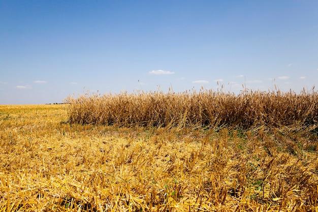 Pole Rolnicze Rolnictwa Zbóż W Czasie żniw. Lato Premium Zdjęcia