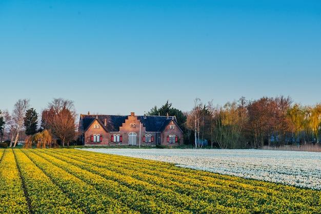 Pole Tulipanów W Holandii. Holandia Premium Zdjęcia