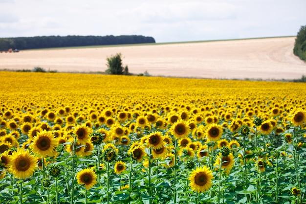 Pole z jasnymi żółtymi kwitnącymi słonecznikami i wzgórzami z polami pszenicy przeciw niebieskiemu niebu Premium Zdjęcia