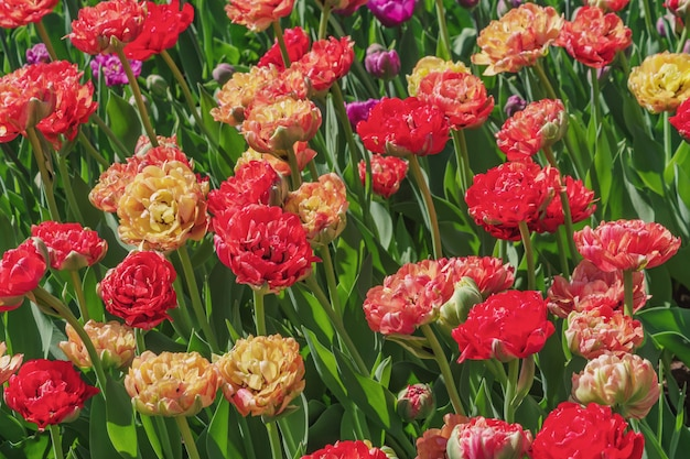 Pole żółte i czerwone tulipany. kwiat tło. krajobraz letniego ogrodu Premium Zdjęcia