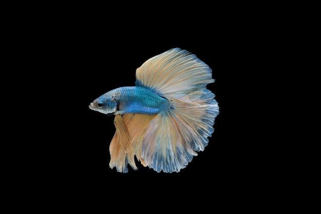 Półmunta betta splendens lub siamese walki ryby samodzielnie Darmowe Zdjęcia