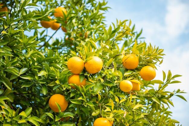 Pomarańcze owoc z niebieskim niebem Premium Zdjęcia
