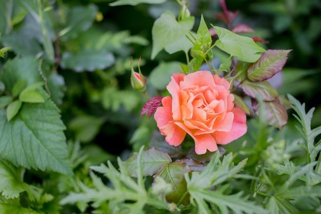 Pomarańczowa Róża I światło Słoneczne. Róża W Jesień Ogród W Słoneczny Dzień. Piękny Kwiat Z Bliska. Miejsce Na Tekst. Kartkę Z życzeniami Dzień Matki Premium Zdjęcia