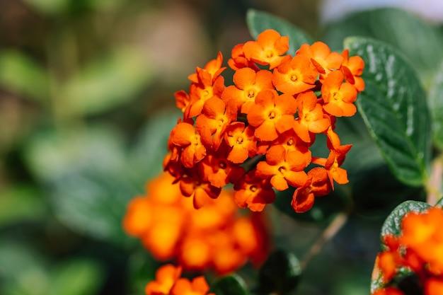 Pomarańczowe Kwiaty Tropikalne W Ogrodzie Premium Zdjęcia