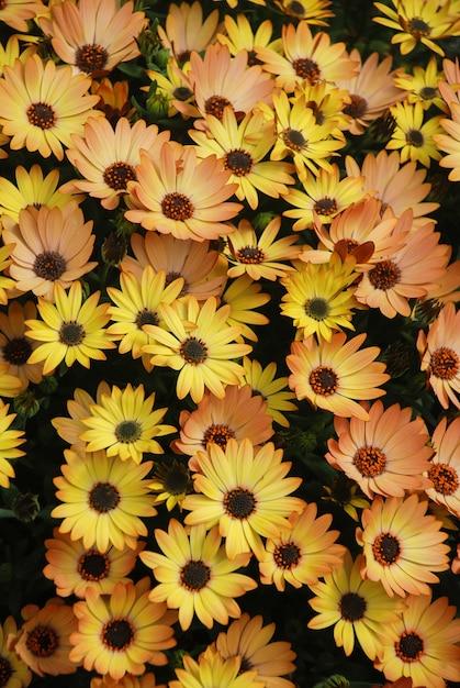 Pomarańczowe Osteospermum Lub Dimorphotheca Kwiaty W Kwietniku Premium Zdjęcia