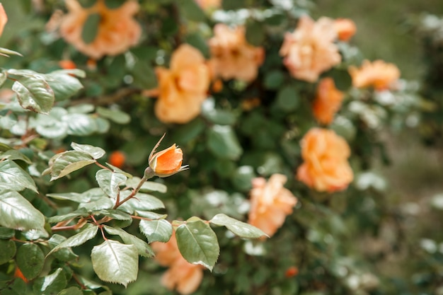 Pomarańczowy, Jasnoróżowy Delikatny Różany Zbliżenie. Selektywna Ostrość Z Płytkiej Głębi Ostrości Premium Zdjęcia