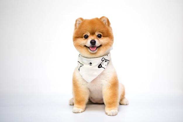 Pomorzanka psi obsiadanie na bielu Premium Zdjęcia