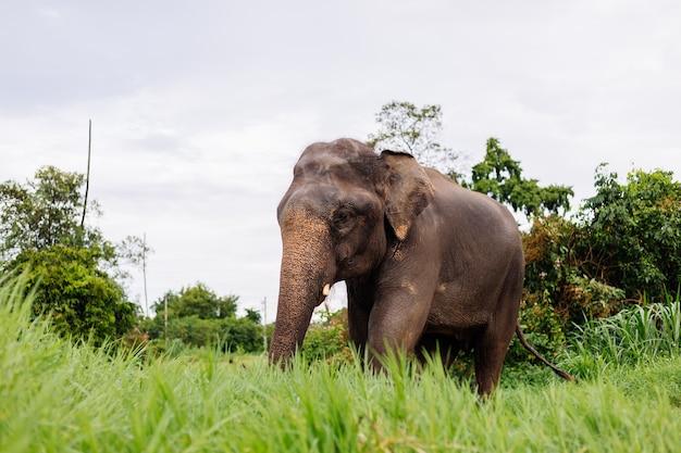 Portret Beuatiful Tajski Azjatycki Słoń Stoi Na Zielonym Polu Słoń Z Przyciętymi Ciętymi Kłami Darmowe Zdjęcia