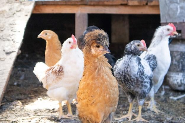 Portret Czarnego Kurczaka Na Farmie W Kurniku. Premium Zdjęcia