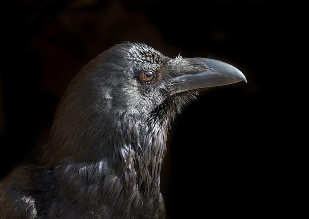 Portret czarny kruk na czarnym tle. Premium Zdjęcia