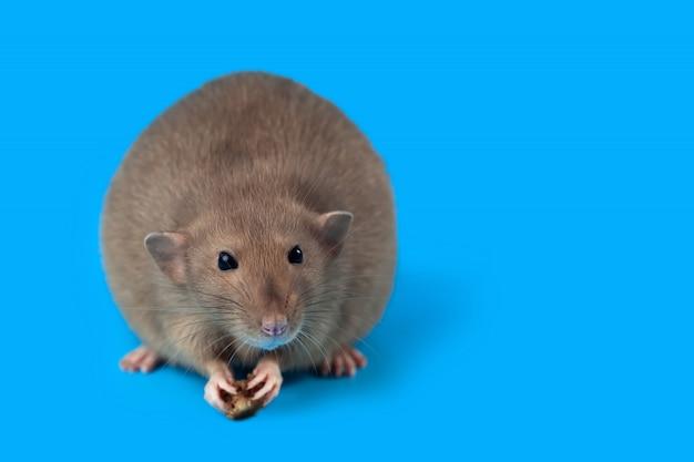 Portret domowy szczur na błękitnym tle Premium Zdjęcia