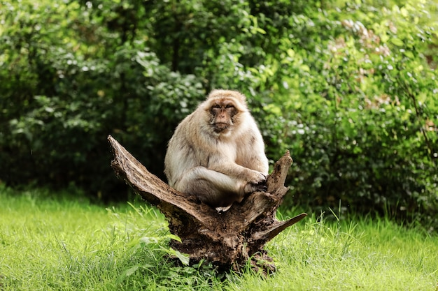 Portret Dorosły Makak W Tropikalnym Natura Parku. Bezczelna Małpa W Naturalnym Lesie. Przyrody Scena Z Niebezpieczeństwa Zwierzęciem. Selektywne Ustawianie Ostrości Premium Zdjęcia