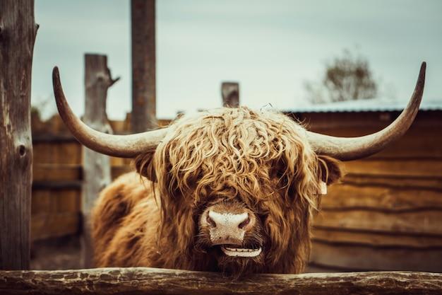 Portret dzika krowa w zoo Premium Zdjęcia
