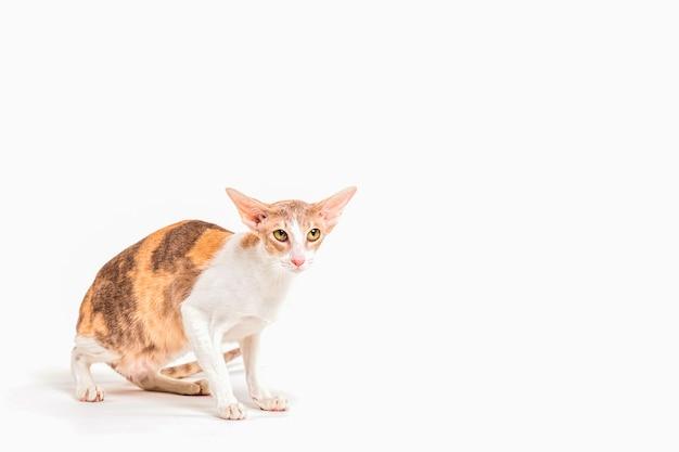 Portret Ostrzeżenia Cornish Rex Kot Odizolowywający Na Białym Tle