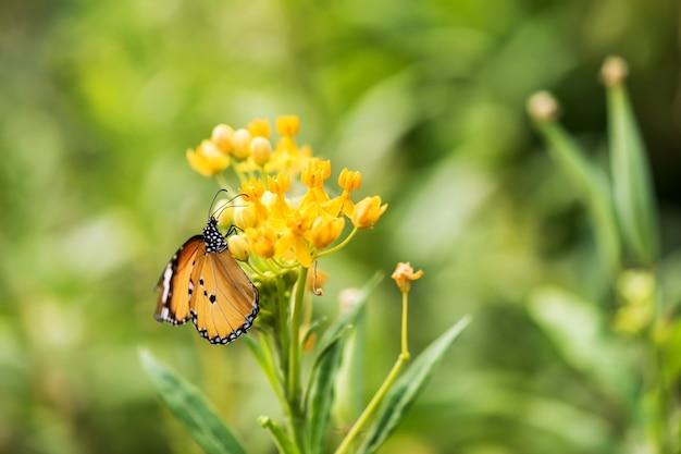 Portret Pomarańczowy Monarchiczny Motyl Premium Zdjęcia