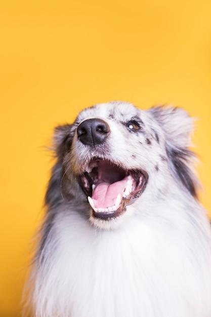 Portret psa rasy border collie Darmowe Zdjęcia