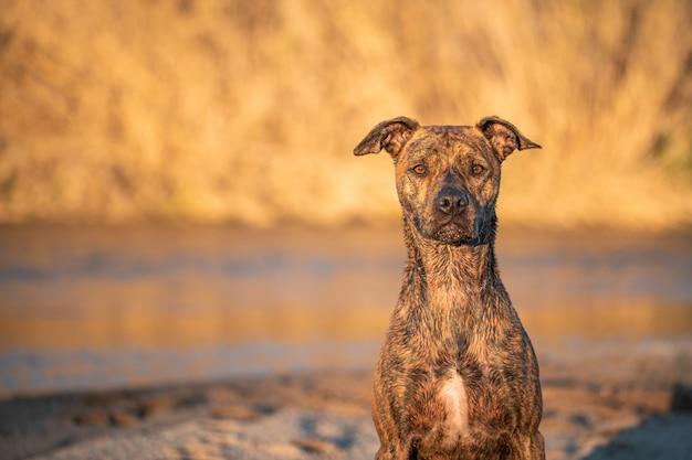Portret Psa Rasy Mieszanej Na Rzece Z Naturalnym świetle Słońca Premium Zdjęcia
